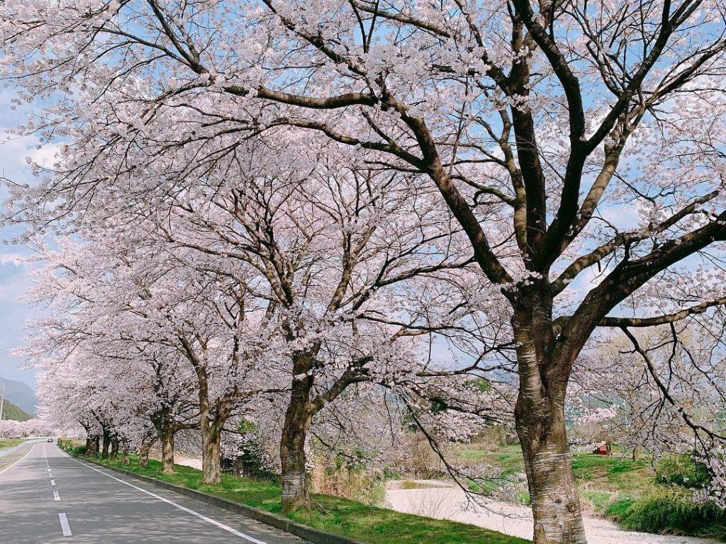 関西池田記念墓地公園の桜並木